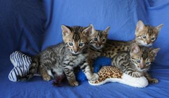 Bengal Kittens in North Carolina